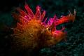 Ambon scorpionfish.