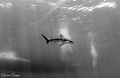Oceanic whitetip shark/Photographed with a Tokina 10-17 mm fisheye lens at Elphinstone, Red Sea, Egypt and converted to black-and-white.