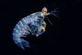 Larval mantis shrimp