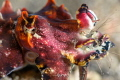 Shot by Nikon Z7, 105mm. A flamboyant octopus is eating a shrimp.