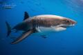 White Shark Atack, Isla Guadalupe México