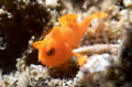 Tiny Frog Fish!!!