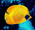 masked butterflyfisch