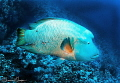 Napoleon Wrasse/Photographed with a Tokina 10-17 mm fisheye lens at Elphinstone, Red Sea, Egypt