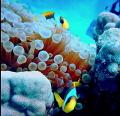 clownfish marsa alam