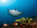 Manta getting cleaned while sweetlips and squirrelfish hang around. perfect scene in the Maldives