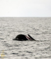 Sperm whale spyhopping and playing at the surface;.