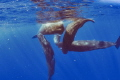 social sperm whales  taken under permit