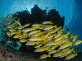 Bluestriped snappers