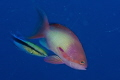 Anthias and blue streaked cleaner wrasse