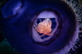 Tunicate shrimp