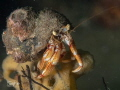 Heremite lobster.. sitting on top of the world