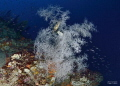 a place in the middle of the sea near Reggio Calabria. Black coral with