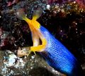Male ribbon eel/Photographed with a Canon 60 mm macro lens at Alor, Indonesia