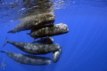 Rush hour.  Sperm Whales off the Commonwealth of Dominica, (taken under permit)