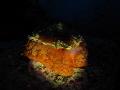 Umbraculum mediterraneum Orange