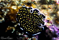 Gold Spotted Polyclad Flatworm/Photographed with a Canon 60 mm macro lens at Alor  Indonesia.