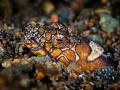 DT s  Napoleon Snake eel   Ophichthus bonaparti  Bali  Indonesia