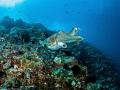 Blue Day  Reef Cuttlefish   Sepia latimanus  Bali  Indonesia
