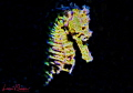 Fractal image of a female common seahorse/Photographed with a Canon 60 mm macro lens at Lembeh  Indonesia.
