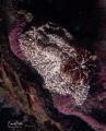 Bruine plooislak  gonidoris castanea