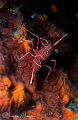 Dancing shrimp/Photographed with a Canon 60 mm macro lens at Alor  Indonesia.