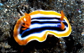 Chromodoris magnifica/Photographed with a Canon 60 mm macro lens at Alor  Indonesia.