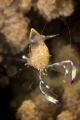 Anemone shrimp   macro lens 60 mm  t/200  f/20  ISO 100