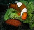 Anemonefish on egg