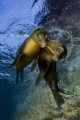a couple of sealions playing with a piece of wood