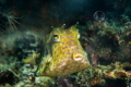 Cowfish blowing bubbles....
