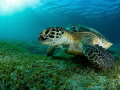 Green turtle in the bay of Abu Dabbab, Egypt.