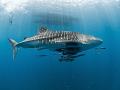 Sidewinder   Whale Shark - Rhincodon typus  Sail Rock, Thailand