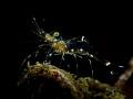 The Hunger  Glass Cleaner Shrimp - Urocaridella sp.  Sail Rock, Thailand