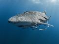Like the deserts miss the rain ...  Whale Shark - Rhincodon typus  Sail Rock, Thailand