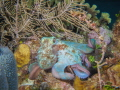 green octo