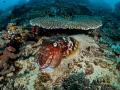 Whoop  Whoop  Whoop   Reef Cuttlefish   Sepia latimanus  Bali  Indonisia