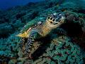 Hello   Hawksbill Turtle   Eretmochelys imbricata  Bali  Indonesia