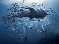 Don't Look Back  Whale Shark - Rhincodon typus  Sail Rock, Thailand