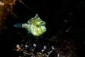 Juvenile mimic filefish