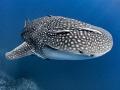 That Awkward Moment When ... ?  Whale Shark - Rhincodon typus  Sail Rock, Thailand
