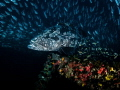 A Ceiling for some, a floor for another ...  Malabar Grouper - Epinephelus malabaricus  Sail Rock, Thailand
