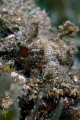 Scorpionfish portrait.