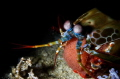 Peacock Mantis Shrimp carrying Eggs Nikon D7200  Sea&Sea YS-D2 with Retra snoot  F18.0 1/250 ISO100