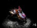 Black white and color  Flamboyant cuttlefish metasepia Pfefferi  with Retra snoot  F16.0 1/250 ISO100  Nikon D7200  Sea Sea YS D2  Tamron 90mm
