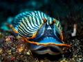 Lil Creep ...  Nudibranch - Armina semperi  Bali, Indonesia