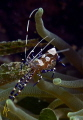 P Yucatinicus the spotted cleaner shrimp