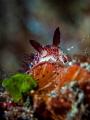 Hide and Seek  Nudibranch - Jorunna funebris  Bali, Indonesia