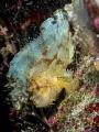 Same same ...  Leaf Scorpionfish - Taenianotus triacanthus  Bali, Indonisia