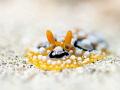 Squirmer  Nudibranc - Phyllidia ocellata  Bali, Indonesia